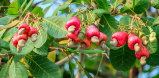 cashew health tips