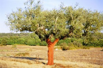 A typlical Alentejo cork tree