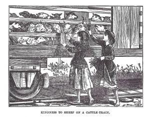 Kindness to sheep on cattle train - 1870