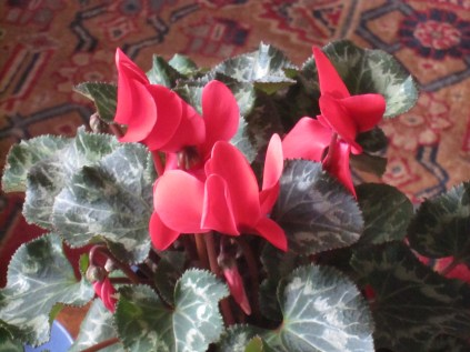 Red cyclamen (with their lovely leaves)