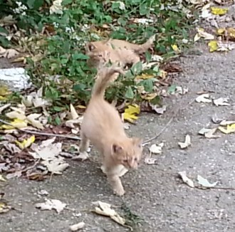 Kittens Playing, October 29, 2015