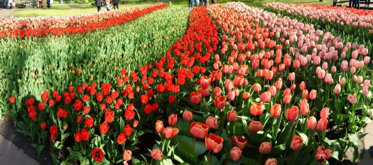 Rows on rows of tulips!