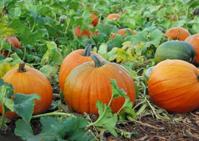 pumpkin-patch-9