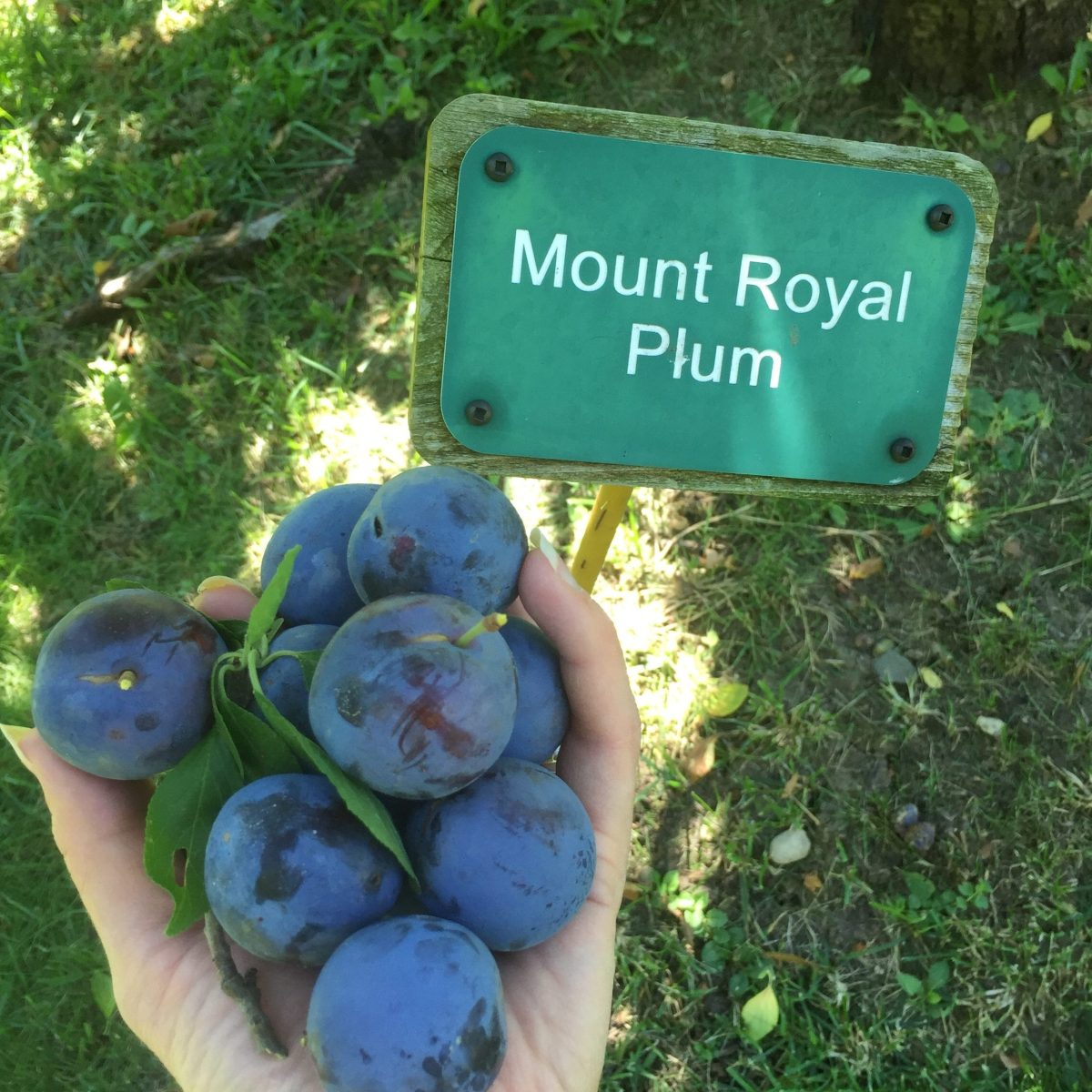 Orchard- Mount Royal Plums