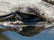 I wouldn't want to be the object of this croc's interest!