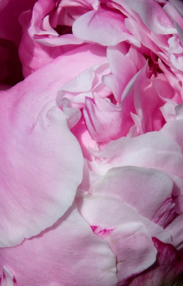 Pale Pink Peony Closeup