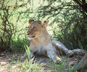 Lion # 13 Sitting Up
