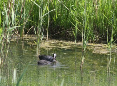 A young coot is fed by its parent.
