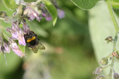 A bee visits the comfrey.