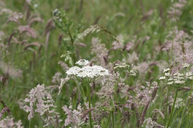 Cow parsley and insects.