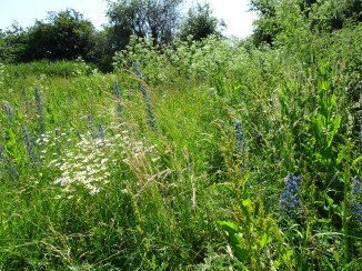 Ox-eye daisies and viper's bugloss.