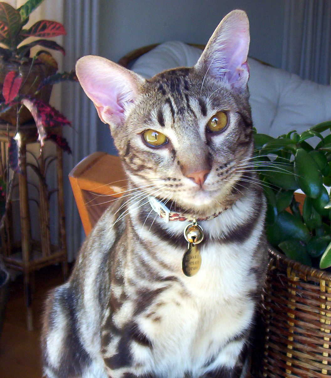The Ocicat Cat is an alldomestic breed of cat which