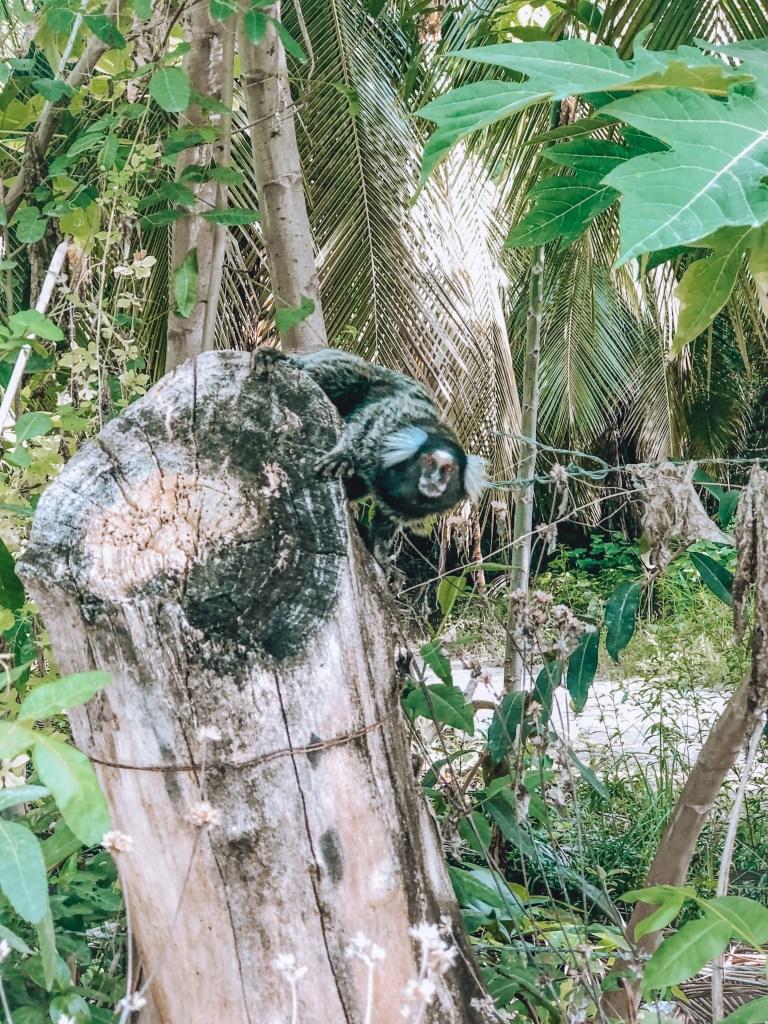 mico na Pousada do Toque, Alagoas. Rota Ecológica dos Milagres