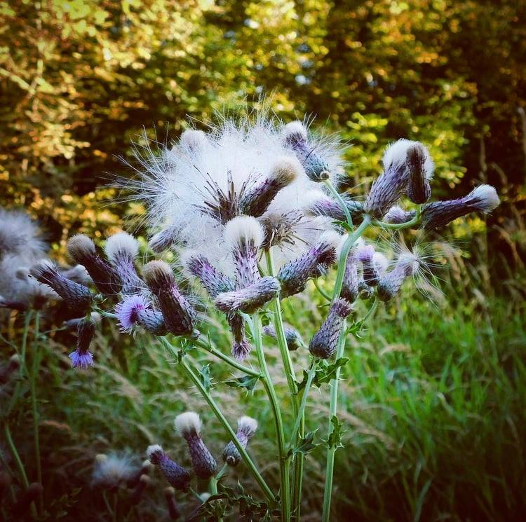 """Creeping thistle is an """"unwanted plant spreading out of control and aggressively overpowering others,"""" according to my plant ID app. The app says the same thing about nearly every plant around. It's a war zone out here."""