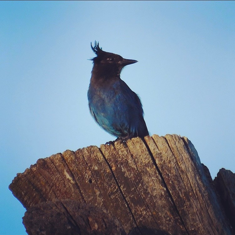 Steller's jay, just out of the shower