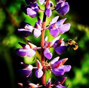 Lupine and bumblebee