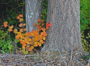 Douglas fir and maple