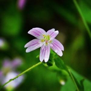 Siberian spring beauty