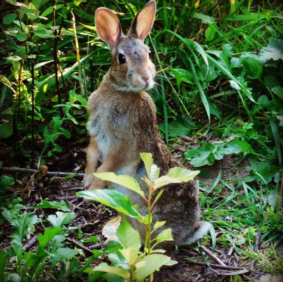 """I see bunnies every day on what is now called """"The Rabbit Trail"""" behind the house. I resist taking pictures of every one, but I couldn't pass up this adorable one who agreed to pose for the camera."""