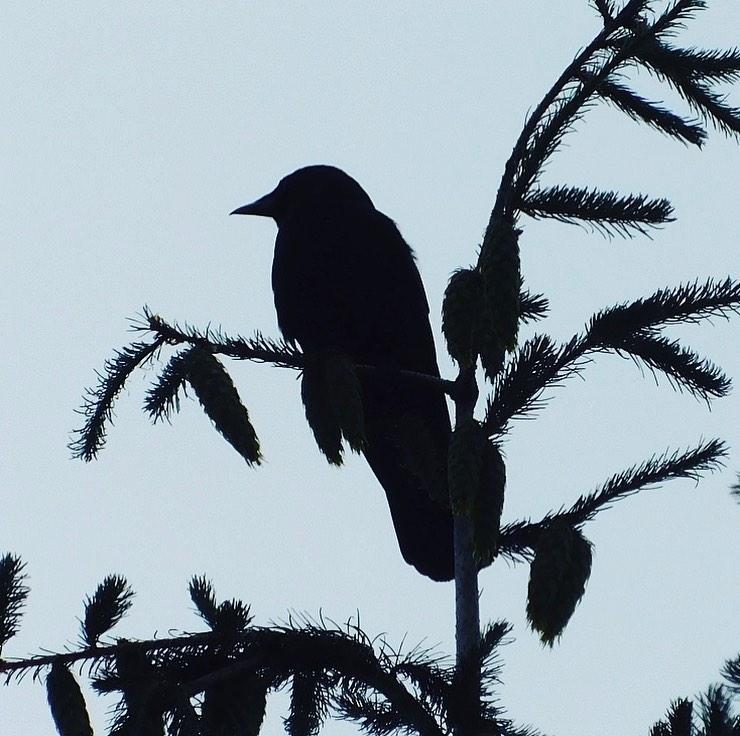 Crow & Douglas fir