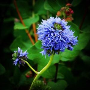 Globe gilia aka blue-thimble-flower