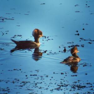 Hooded mergansers (duck)