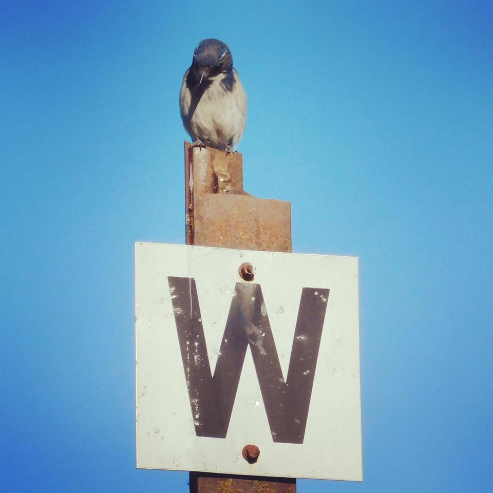 This California scrub-jay is learning to read. Today's letter is M.