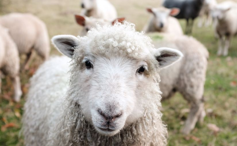 Why investors are like sheep (and how to herd them)
