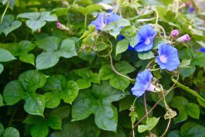 Blue Morning Glory (Ipomoea hederacea)