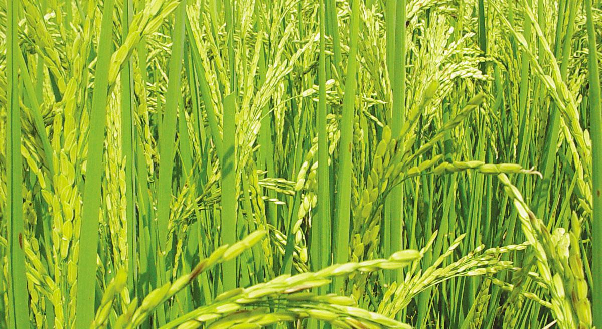 Cosecha de arroz, espiga, rubros, idiaf, corea, tecnologia, aporte