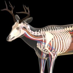 Elk Anatomy Diagram Acl Lifestyle Mid Position Valve Wiring Shot Placement Feature – Elk101.com | Eat. Sleep. Hunt Elk!