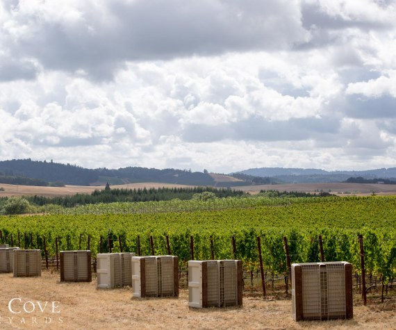 Goodrich Vineyard with picking bins in the foreground just before harvest