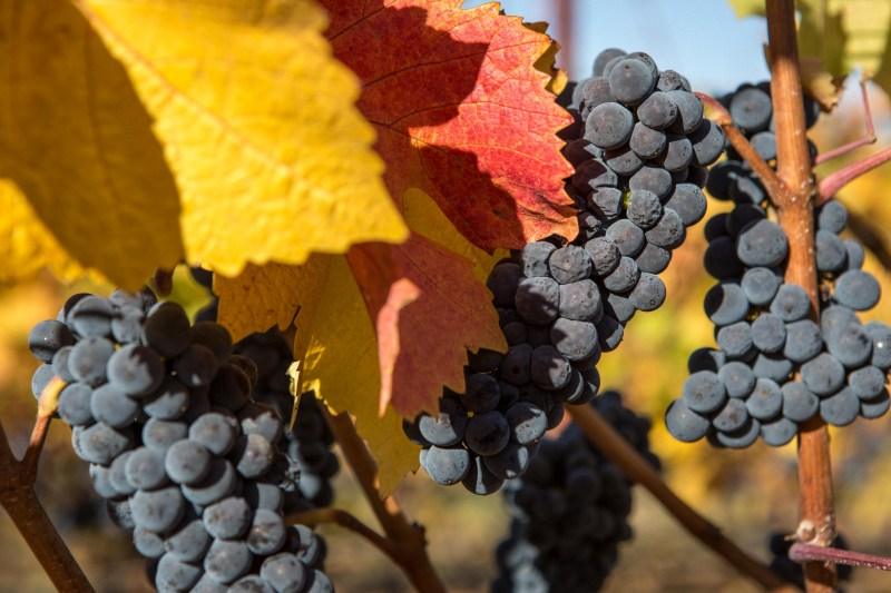 fall colors and grapes