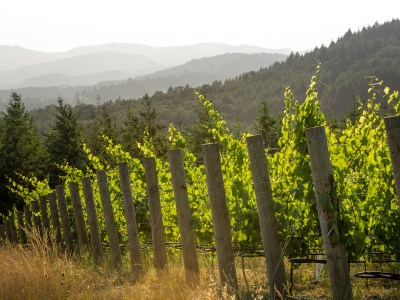 Grapevines growing with mountains in background
