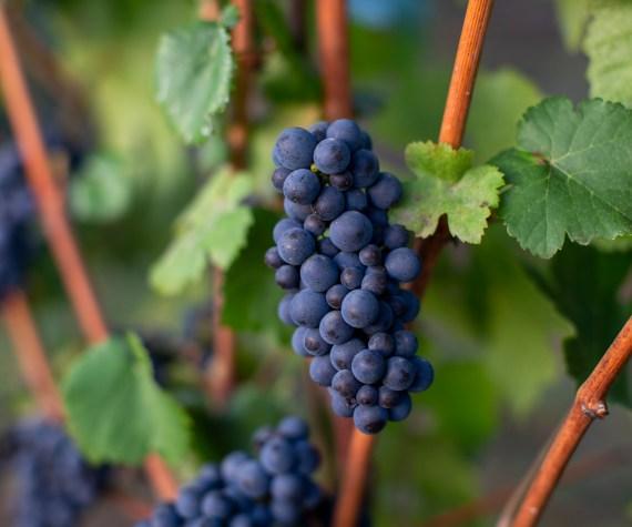 Pommard Clone Pinot Noir
