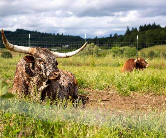 Longhorn bull taking a nap in the sunshine