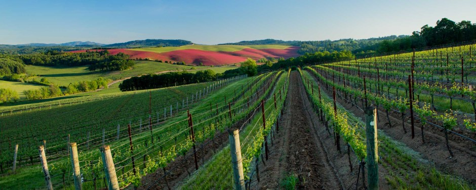 vineyard in spring with red clover field in distance