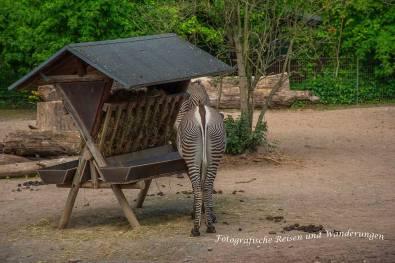 Zebras im Zoo Köln