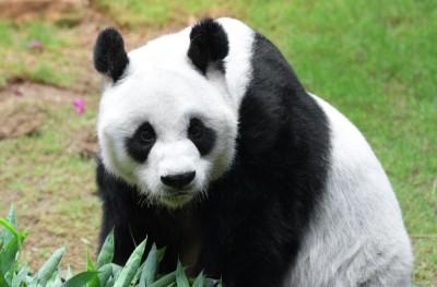 Image of Panda looking at camera