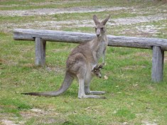 Kangaroo & joey at our campsite