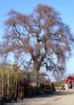 Big Oak Nursery
