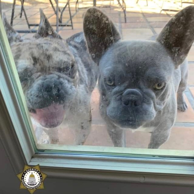 Sacramento County Sheriff's Find Stolen French Bulldogs, Weapons, & Drugs In Elk Grove Home