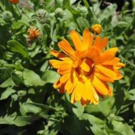 Calendula Flowers CO, Dried Bulk 4oz