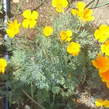 California Poppy Fresh CO Tincture