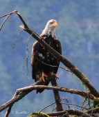Bald Eagle, Great Bear Rainforest, Canada