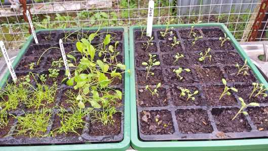 Sage, oregano, chamomile, rocket and onion seedlings