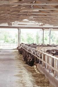 bufale campane