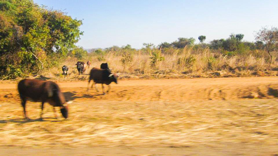 Cattle in Zambia Africa