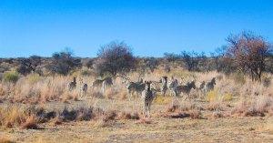 Zebra Herd at Naankuse Wildlife Sanctuary Namibia