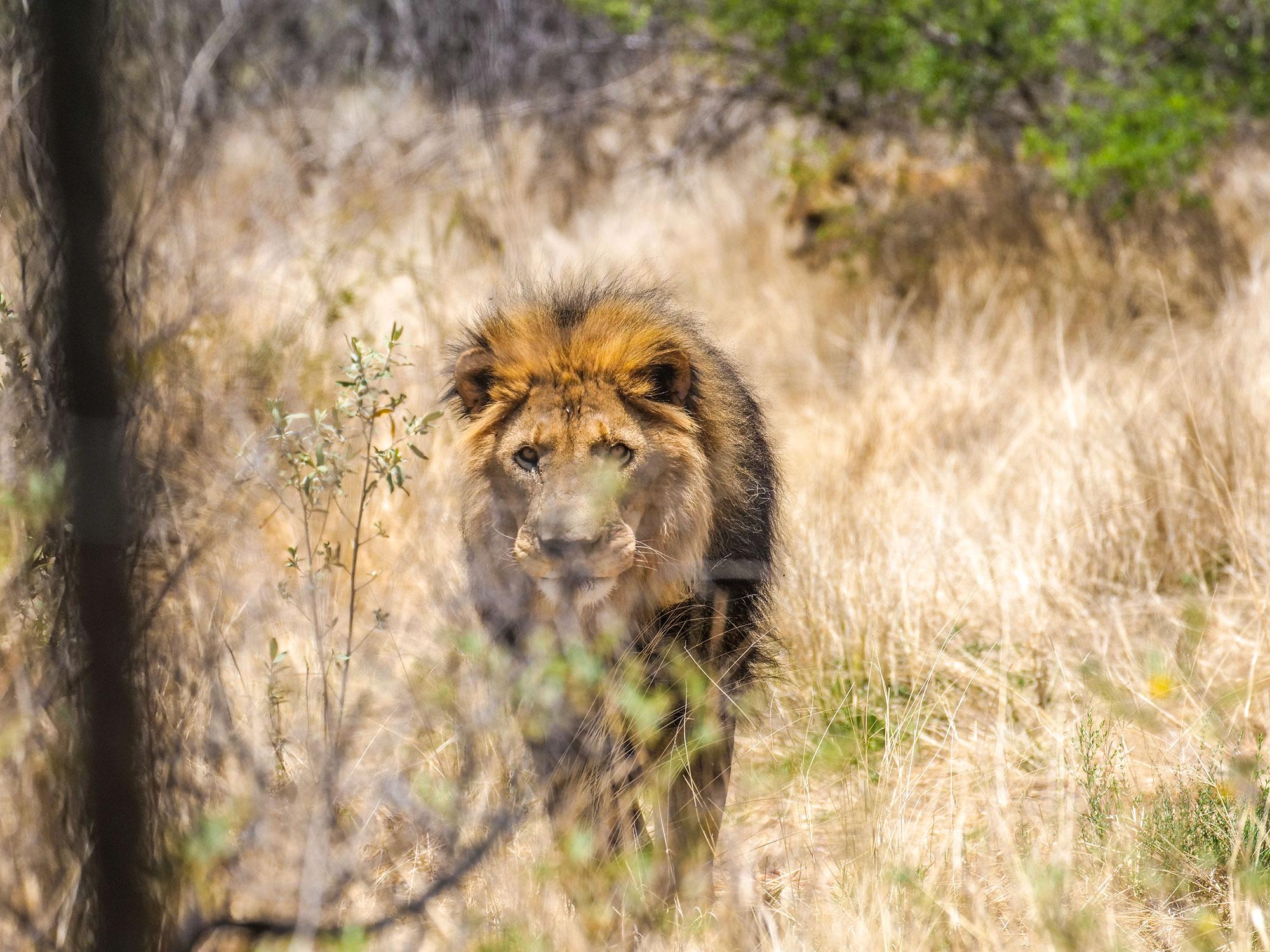 Lion at N/a'an ku sê (Naankuse) Wildlife Sanctuary in Namibia, Africa